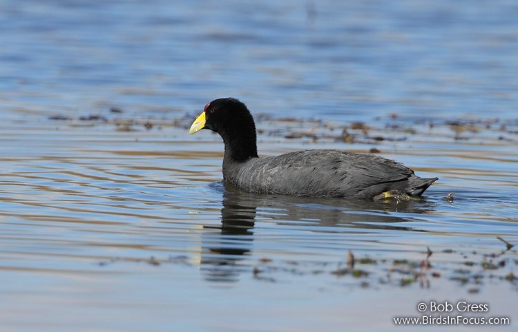 Slate-colored Coot