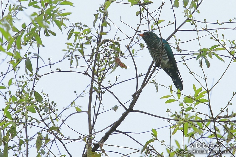 Asian Emerald Cuckoo