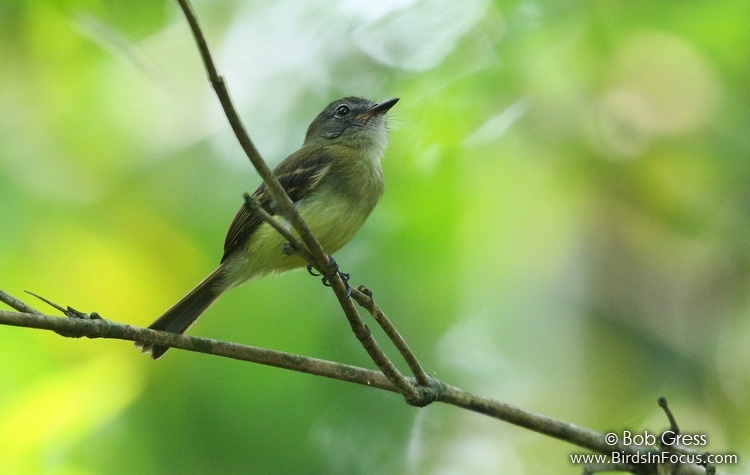 Black-billed Flycatcher