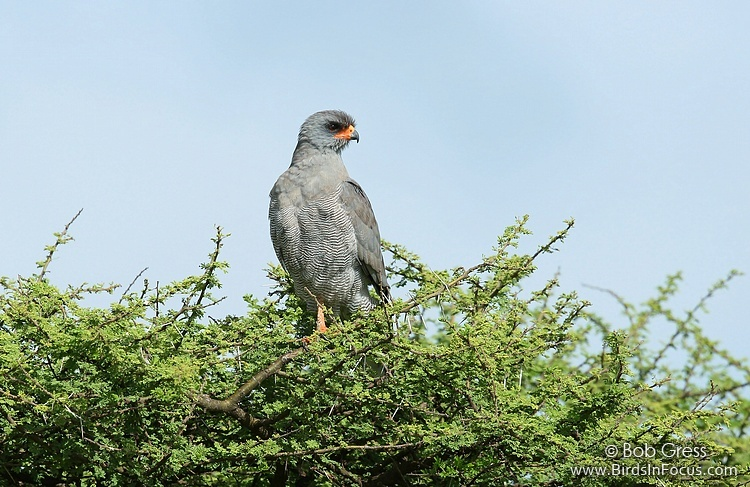 Eastern Chanting-Goshawk
