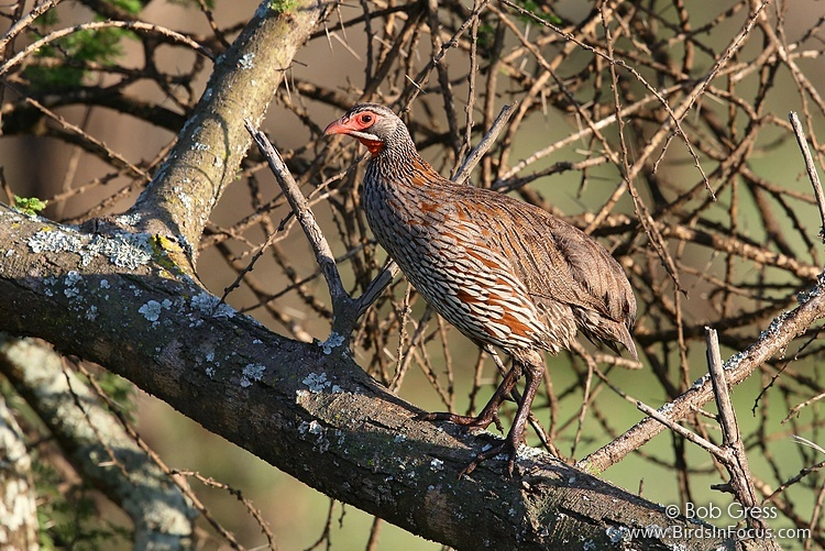 Gray-breasted Francolin