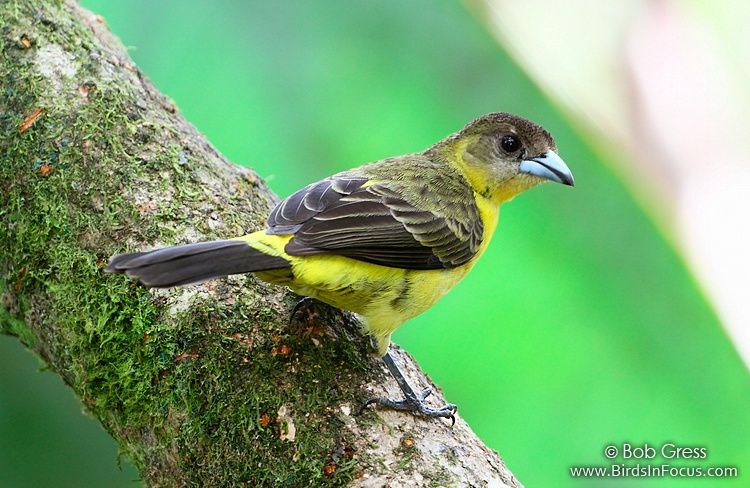 Flame-rumped Tanager