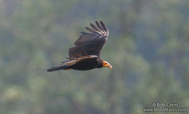 Lesser Yellow-headed Vulture