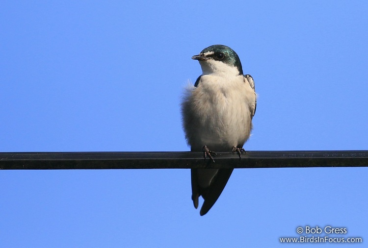 Mangrove Swallow