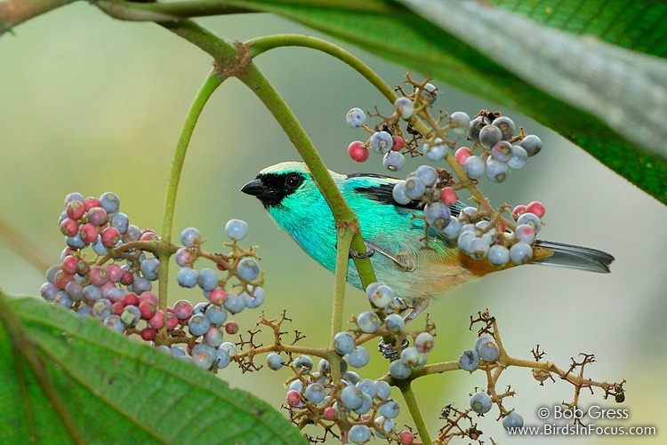 Metallic-green Tanager