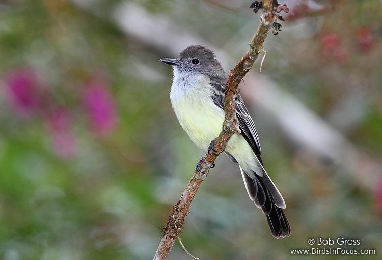 Pale-edged Flycatcher
