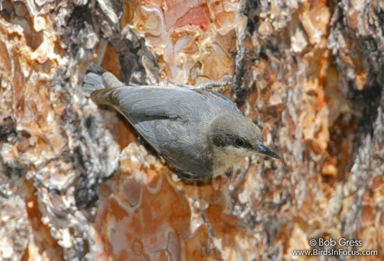 Pygmy Nuthatch