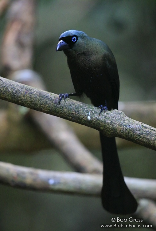 Racket-tailed Treepie
