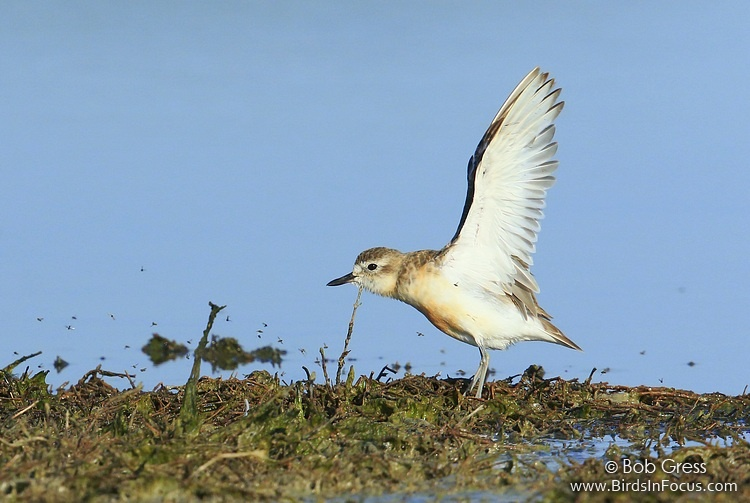 Red-breasted Dotterel