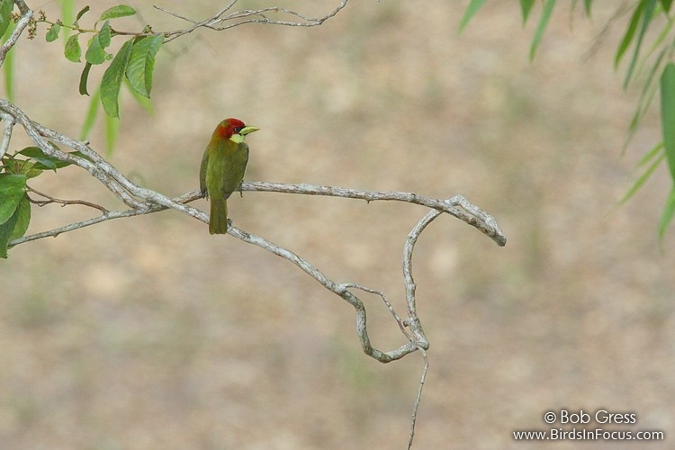 Scarlet-hooded Barbet