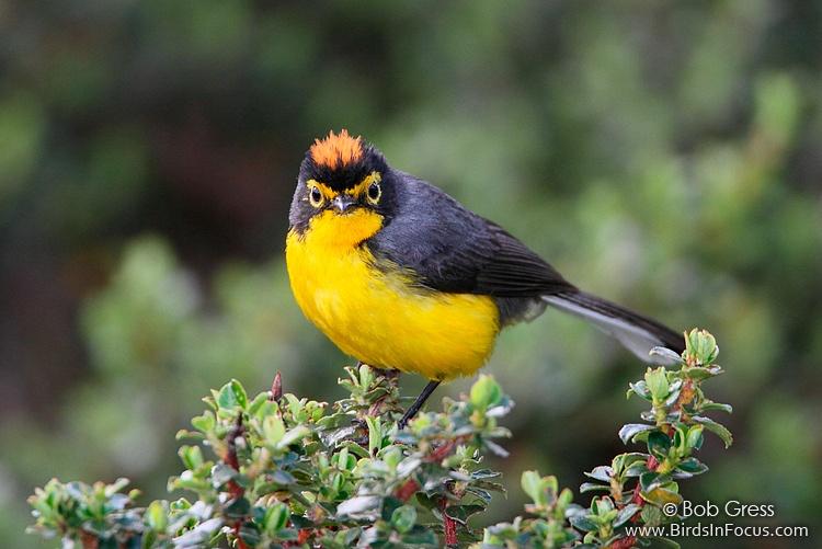 Spectacled Redstart