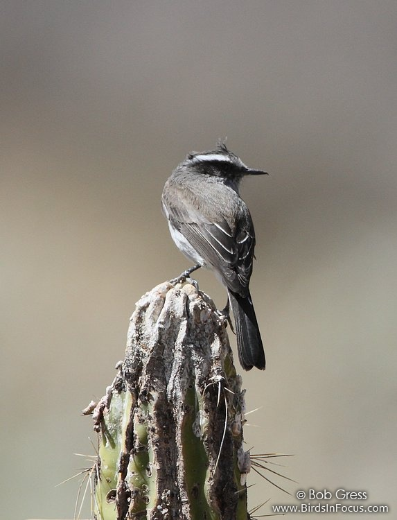 White-browed Chat-Tyrant