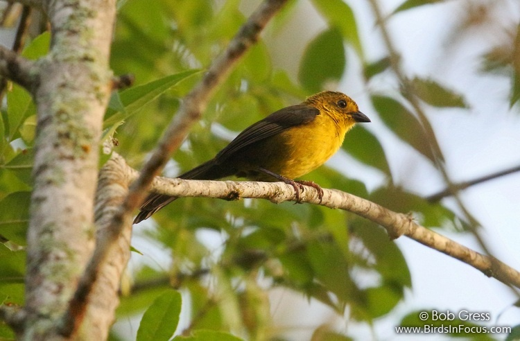 Yellow-headed Brushfinch