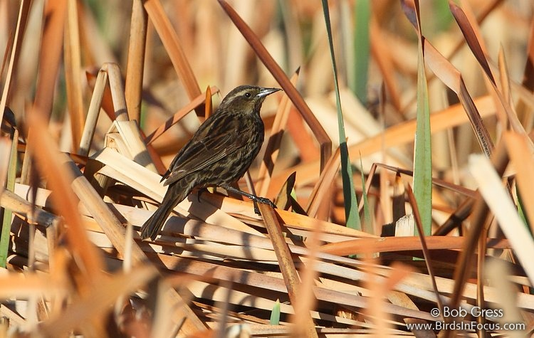 Yellow-winged Blackbird