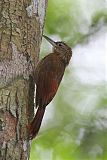 Amazonian Barred-Woodcreeper