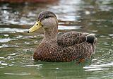American Black Duckborder=