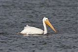 American White Pelicanborder=