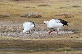 Andean Gooseborder=