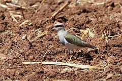 Andean Lapwing