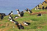 Atlantic Puffinborder=