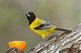 Audubon's Orioleborder=