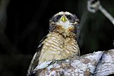Band-bellied Owl