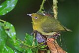 Band-tailed Manakinborder=