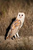Barn Owlborder=