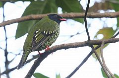 Barred Fruiteater