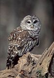 Barred Owlborder=