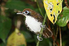 Bicolored Antbird
