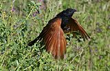 Black Coucal