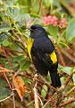 Black-and-yellow Silky-flycatcherborder=