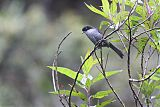 Black-backed Bush Tanager