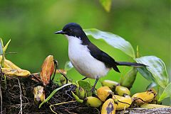 Black-backed Sibia