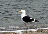 Kelp Gullborder=