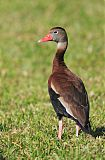 Black-bellied Whistling-Duckborder=