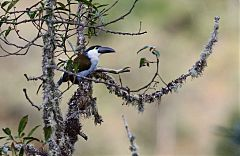 Black-billed Mountain-Toucan