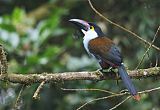 Black-billed Mountain-Toucanborder=