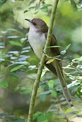 Black-billed Cuckoo