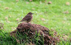 Black-billed Shrike-Tyrant