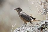 Black-billed Shrike-Tyrantborder=