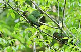 Black-capped Parakeetborder=