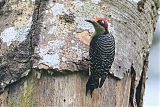Black-cheeked Woodpecker