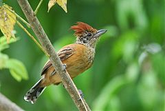 Black-crested Antshrike