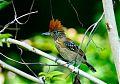 Black-crested Antshrikeborder=