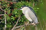 Black-crowned Night-Heronborder=