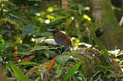 Black-crowned Antpitta