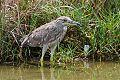 Black-crowned Night-Heronborder=