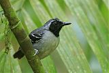 Black-faced Antbirdborder=